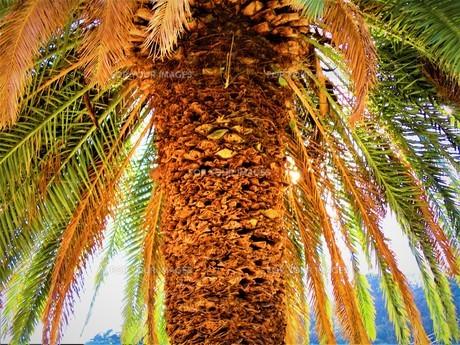 熱海のヤシの木の写真素材 [FYI01162370]