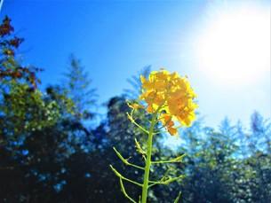 1月の菜の花の写真素材 [FYI01162385]