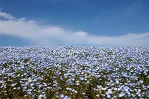 ネモフィラの花畑の写真素材 [FYI01162403]