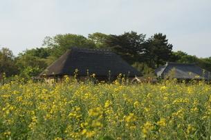 菜の花畑と古民家の写真素材 [FYI01162412]