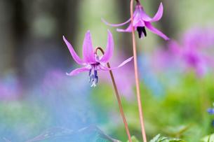 カタクリの花の写真素材 [FYI01162486]