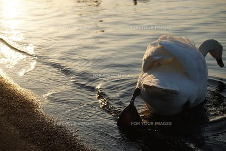 白鳥の写真素材 [FYI01162658]