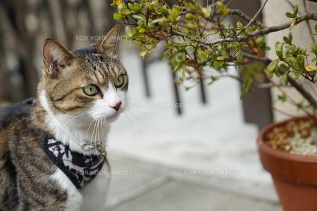 お散歩ネコの写真素材 [FYI01162896]