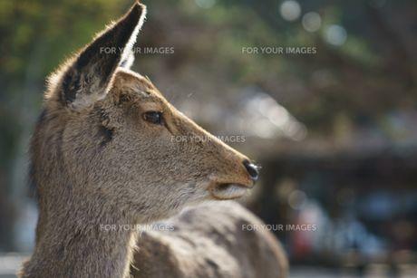宮島の鹿の写真素材 [FYI01162897]