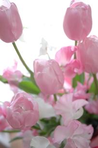 tulip ... 2の写真素材 [FYI01162945]