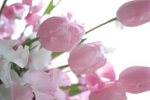 tulip ...の写真素材 [FYI01162946]