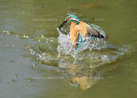 カワセミの捕食の写真素材 [FYI01163137]