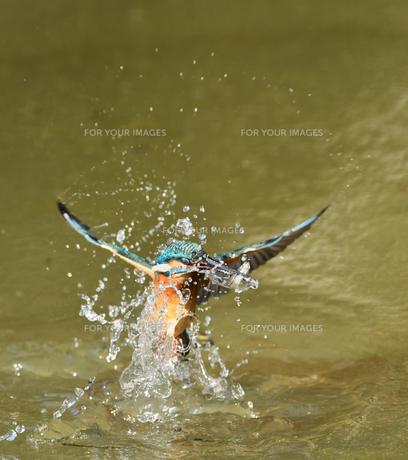 カワセミの捕食の写真素材 [FYI01163138]