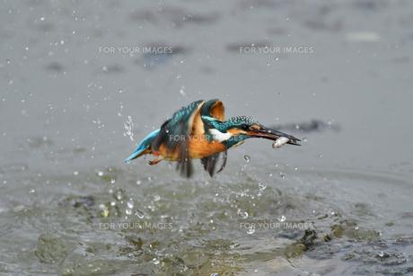 カワセミの捕食の写真素材 [FYI01163139]