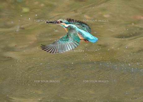 カワセミの捕食の写真素材 [FYI01163140]