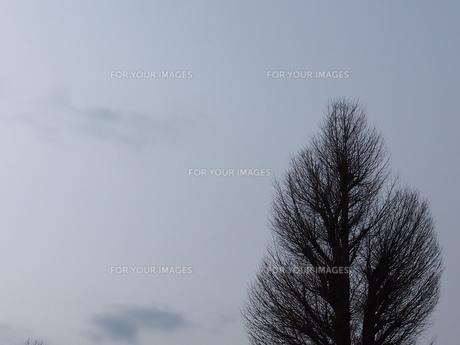 曇天と裸樹の写真素材 [FYI01163170]