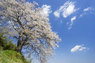 光岩寺の桜の写真素材 [FYI01163359]