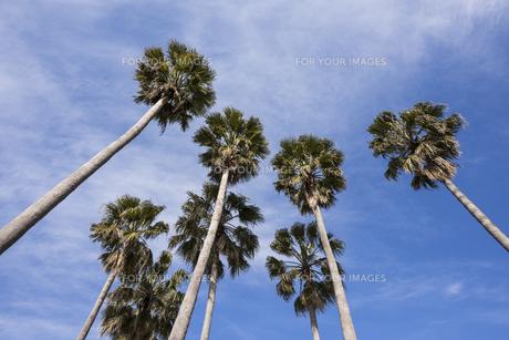 早春の空と椰子の木の写真素材 [FYI01163627]