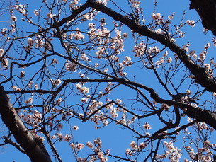 白梅と青空の写真素材 [FYI01163936]