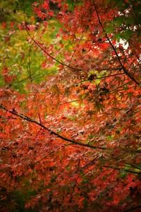 鎌倉山の紅葉の写真素材 [FYI01164193]
