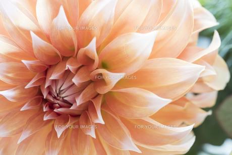 オレンジ色のダリアのマクロ写真の写真素材 [FYI01164825]