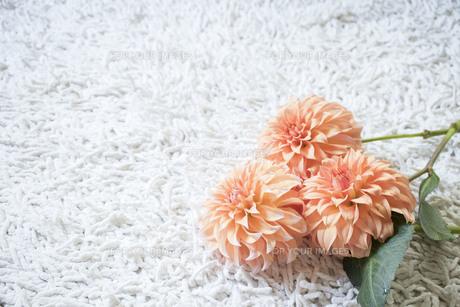 白いカーペットの上のオレンジ色のダリアの写真素材 [FYI01164827]