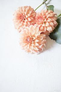 白い板の上のオレンジ色のダリアの写真素材 [FYI01164830]