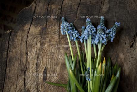 古木のボードの上のブルーのムスカリの写真素材 [FYI01164841]