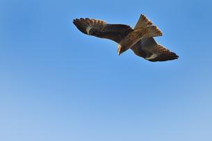 トンビの飛翔の写真素材 [FYI01164843]