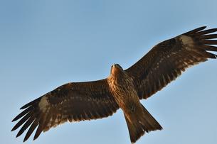トンビの飛翔の写真素材 [FYI01164844]