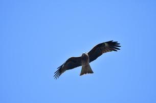 トンビの飛翔の写真素材 [FYI01164847]