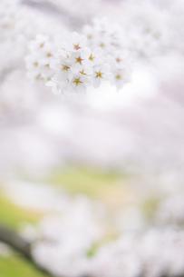 春、さくらの写真素材 [FYI01165128]