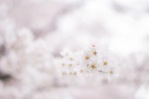 春、さくらの写真素材 [FYI01165129]