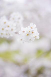 春、さくらの写真素材 [FYI01165130]