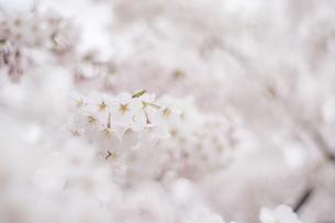 春、さくらの写真素材 [FYI01165131]