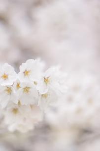 春、さくらの写真素材 [FYI01165133]