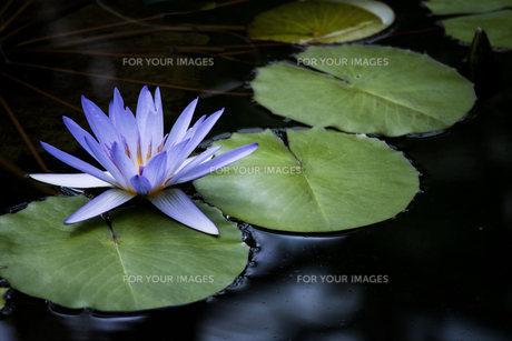 紫色のスイレンの写真素材 [FYI01165271]