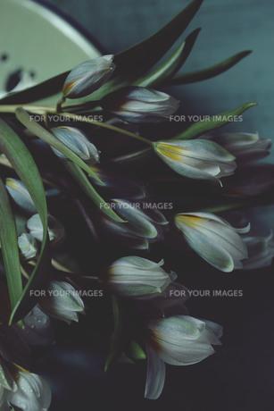 しっとりしたアンダートンの原種チューリップのポリクロマの写真素材 [FYI01165380]