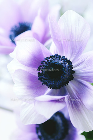 うす紫色のアネモネの写真素材 [FYI01165381]