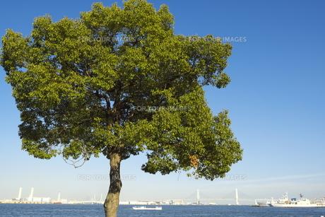 港のくすの木の写真素材 [FYI01165547]
