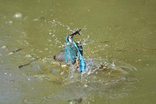 カワセミの捕食の写真素材 [FYI01165616]