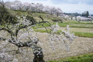 塩ノ崎の桜山の写真素材 [FYI01165656]
