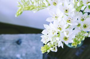 古木の上に活けられた白いオオニソガラムの写真素材 [FYI01165702]