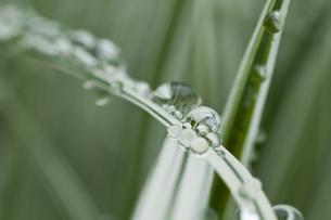 葉の上の水滴の写真素材 [FYI01166116]