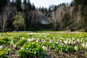水芭蕉の咲く初夏の湿原 大雪山旭岳の写真素材 [FYI01166130]