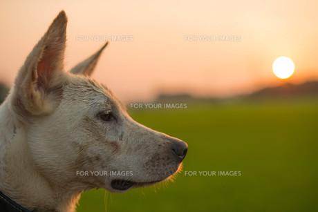 見つめる犬と夕日の写真素材 [FYI01166275]