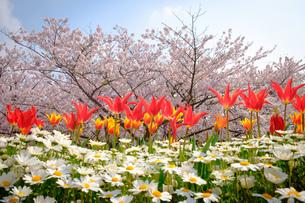 まっすぐに咲くたくさんのチューリップの写真素材 [FYI01166277]