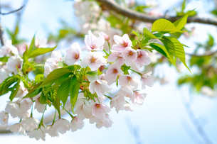 斜めに伸びる桜の花びらの写真素材 [FYI01166278]