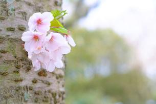 ポツンと咲くさくらの写真素材 [FYI01166280]