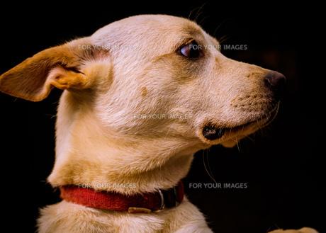 何かを見つめる犬の写真素材 [FYI01166525]
