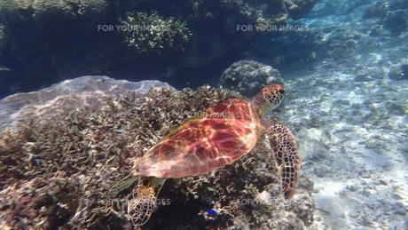ウミガメの写真素材 [FYI01166539]