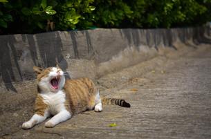 あくびをするネコの写真素材 [FYI01166543]