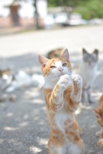 立っている猫の写真素材 [FYI01166547]