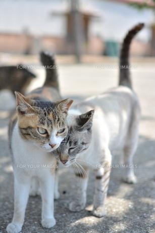 寄り添う猫の写真素材 [FYI01166549]