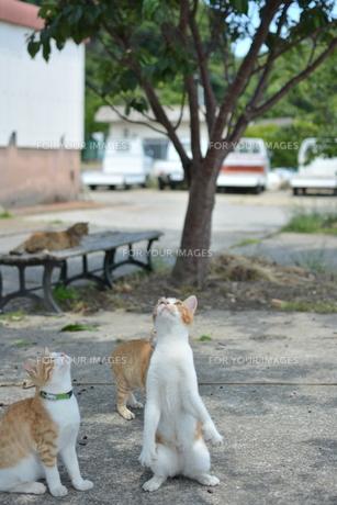 見上げる猫の写真素材 [FYI01166552]